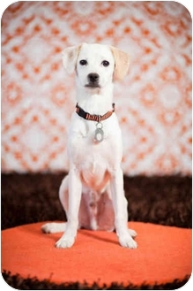 Jack Russell Terrier Mix Puppy for adoption in Portland, Oregon - Rocky