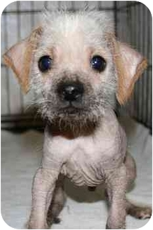 Chinese Crested/Cocker Spaniel Mix Puppy for adoption in House Springs, Missouri - Mouse