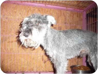 Schnauzer (Miniature) Dog for adoption in Lonedell, Missouri - Cape