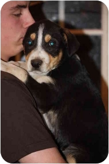 Bernese Mountain Dog/Australian Shepherd Mix Puppy for adoption in Prince William County, Virginia - tanner
