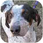 Bluetick Coonhound Mix Dog for adoption in Eatontown, New Jersey - Jake