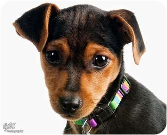 Miniature Pinscher Puppy for adoption in Columbus, Ohio - Harry