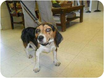 Beagle Mix Dog for adoption in Moultrie, Georgia - Snoopy