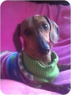 Dachshund Mix Dog for adoption in El Cajon, California - DOLLY