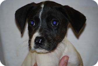 Jack Russell Terrier Mix Puppy for adoption in Coventry, Rhode Island - Jersey