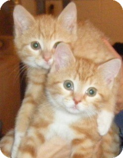 Domestic Shorthair Kitten for adoption in Kensington, Maryland - Buttercup & Millie
