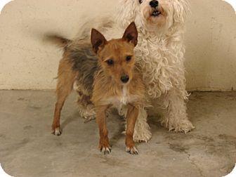 Cairn Terrier Mix Dog for adoption in Fort Scott, Kansas - Scrappy