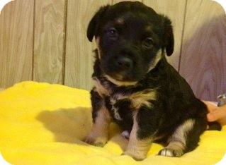German Shepherd Dog Mix Puppy for adoption in Nashville, Tennessee - Gremlin