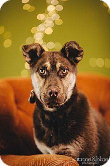 German Shepherd Dog/Husky Mix Puppy for adoption in Portland, Oregon - Skylar