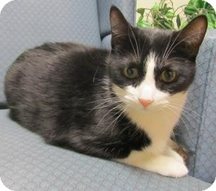 Domestic Shorthair Cat for adoption in Jackson, Michigan - Joe