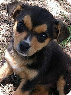 Dachshund/Terrier (Unknown Type, Small) Mix Puppy for adoption in Somers, Connecticut - Angel