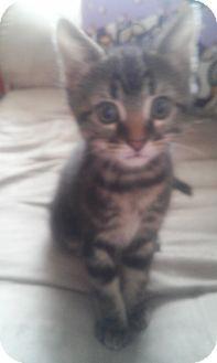 Domestic Shorthair Kitten for adoption in Parkton, North Carolina - Titan