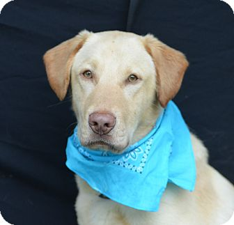 Labrador Retriever Mix Dog for adoption in Plano, Texas - Lionel