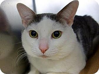 Domestic Shorthair Cat for adoption in New York, New York - Minino