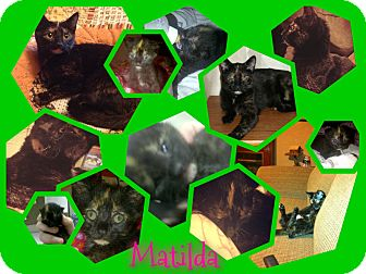 Domestic Shorthair Cat for adoption in Hagerstown, Maryland - Matilda