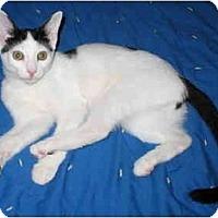 Adopt A Pet :: Matty kitten - Cincinnati, OH