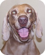 Weimaraner Dog for adoption in St. Louis, Missouri - Bailee