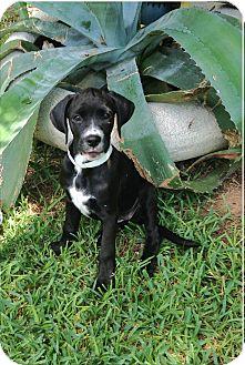 Labrador Retriever/Great Dane Mix Puppy for adoption in Austin, Texas - Tia