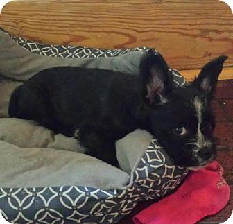 Schnauzer (Miniature) Mix Puppy for adoption in Hainesville, Illinois - Seneca