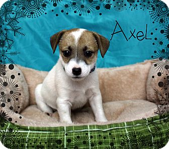 Jack Russell Terrier Mix Puppy for adoption in Ogden, Utah - Axel