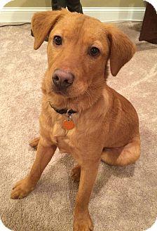 Golden Retriever Mix Dog for adoption in Spring Valley, New York - Abel