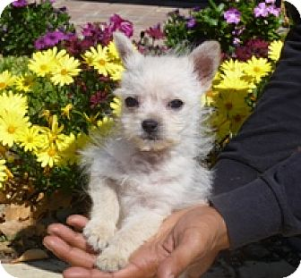 Chihuahua/Poodle (Miniature) Mix Puppy for adoption in Lathrop, California - Chappie