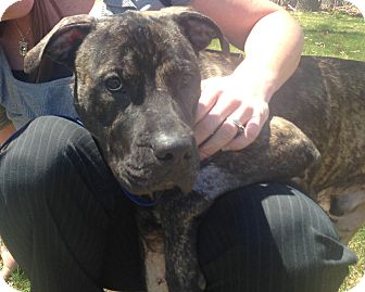 Pit Bull Terrier Mix Dog for adoption in Bloomfield, Connecticut - Brokk