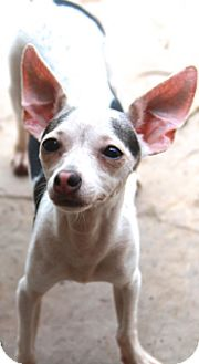 Chihuahua/Terrier (Unknown Type, Small) Mix Dog for adoption in Norwalk, Connecticut - Dallas - MEET HER!
