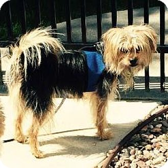 Yorkie, Yorkshire Terrier/Lhasa Apso Mix Dog for adoption in Grand Rapids, Michigan - Buckley