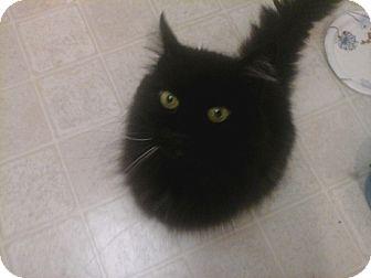 Domestic Mediumhair Cat for adoption in Laguna Woods, California - Gato Sammy