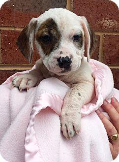 Deerhound/Terrier (Unknown Type, Medium) Mix Puppy for adoption in Mount Pleasant, South Carolina - Donnie-adoption pending!