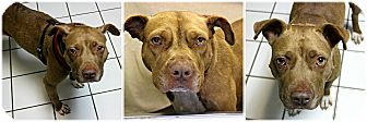 American Staffordshire Terrier Mix Dog for adoption in Forked River, New Jersey - Rosa
