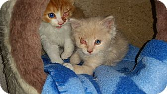 Maine Coon Kitten for adoption in Rocklin, California - Slugger & Zinger (Slugger)