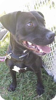 Labrador Retriever/Pit Bull Terrier Mix Dog for adoption in Harrisburg, North Carolina - Ziva