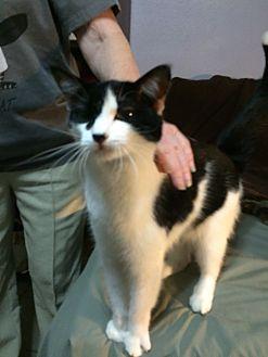 American Shorthair Cat for adoption in Houston, Texas - Kora