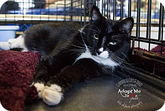 Domestic Shorthair Cat for adoption in Charlotte, North Carolina - A..  Chaselynn
