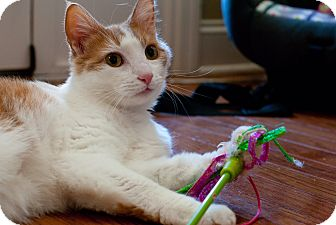 Domestic Shorthair Cat for adoption in Nashville, Tennessee - Leo