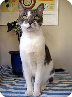 Domestic Shorthair Cat for adoption in Walnut Creek, California - Dominic