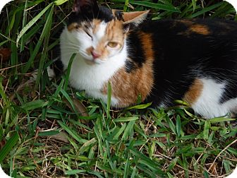 Domestic Shorthair Cat for adoption in Wildwood, Florida - Calico Girl