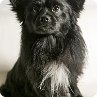 Adopt A Pet :: Scrappy - Inglewood, CA