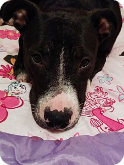 Boxer/American Staffordshire Terrier Mix Dog for adoption in Houston, Texas - Chloe