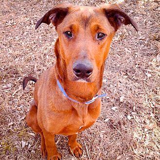 Doberman Pinscher Mix Puppy for adoption in Palmyra, Nebraska - Kiera