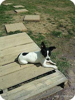 Chihuahua Mix Dog for adoption in Huntington, Indiana - June Bug