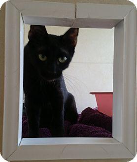 Bombay Kitten for adoption in Fort Pierce, Florida - Velvet
