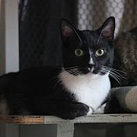 Domestic Shorthair Cat for adoption in Carlisle, Pennsylvania - Ace