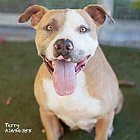 Adopt A Pet :: TERRY - Los Angeles, CA