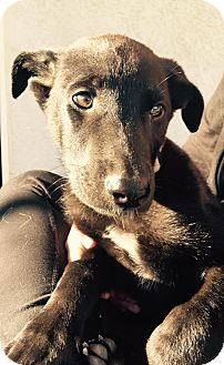 German Shepherd Dog/Labrador Retriever Mix Puppy for adoption in Martinez, California - River