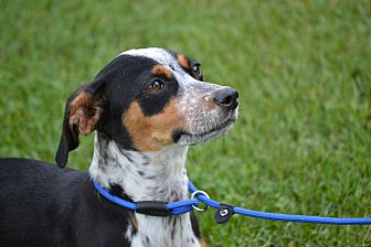 Beagle/Dachshund Mix Puppy for adoption in Pikeville, Maryland - Reba
