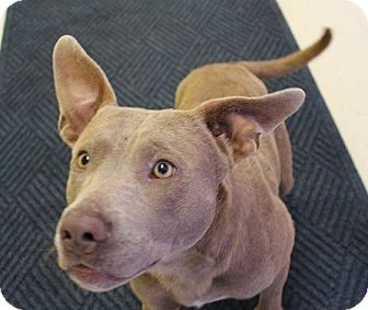 Terrier (Unknown Type, Medium)/Weimaraner Mix Dog for adoption in Claremore, Oklahoma - Nigel