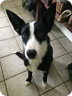 Border Collie Mix Dog for adoption in Gustine, California - BANJO